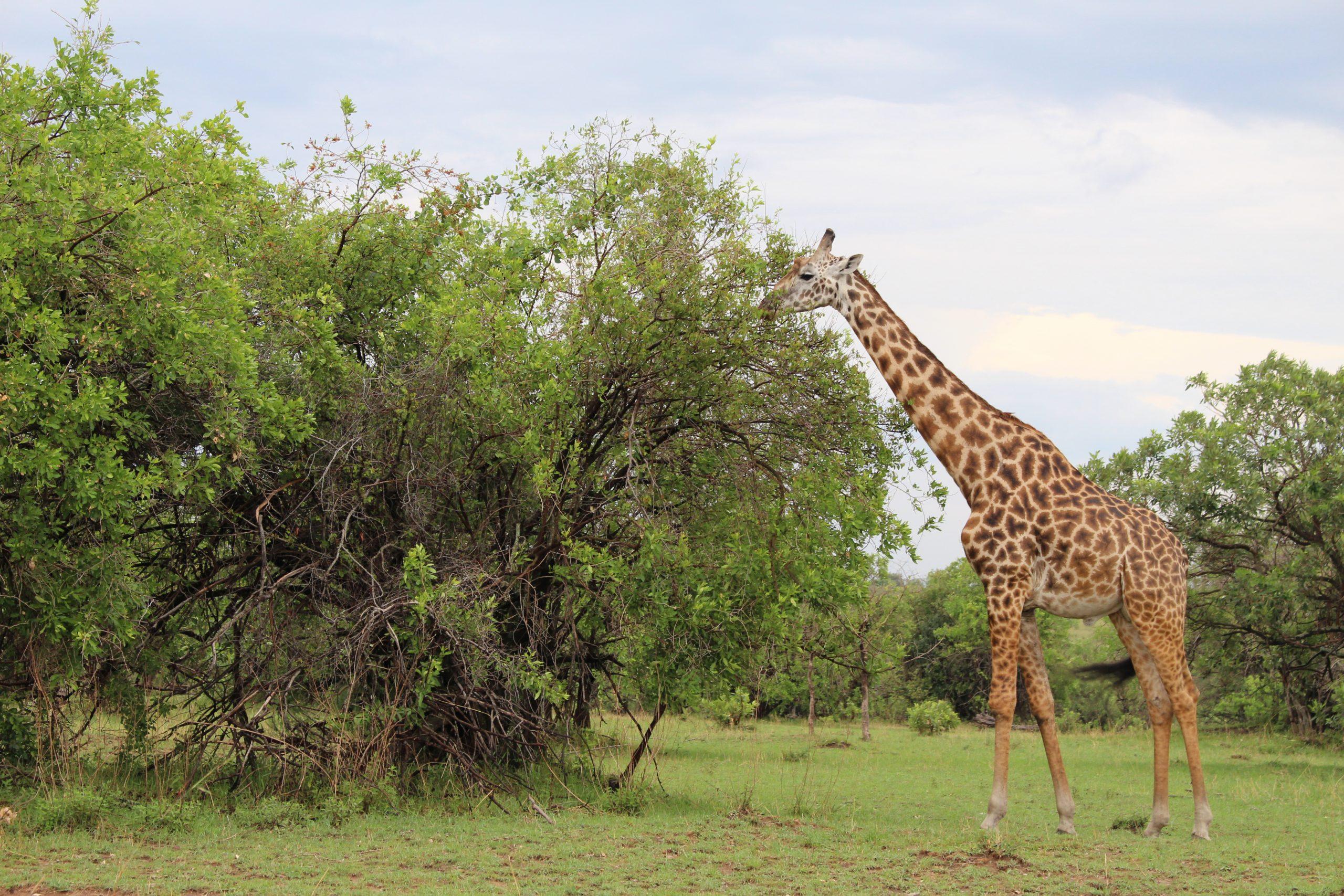 girafas_serengeti2