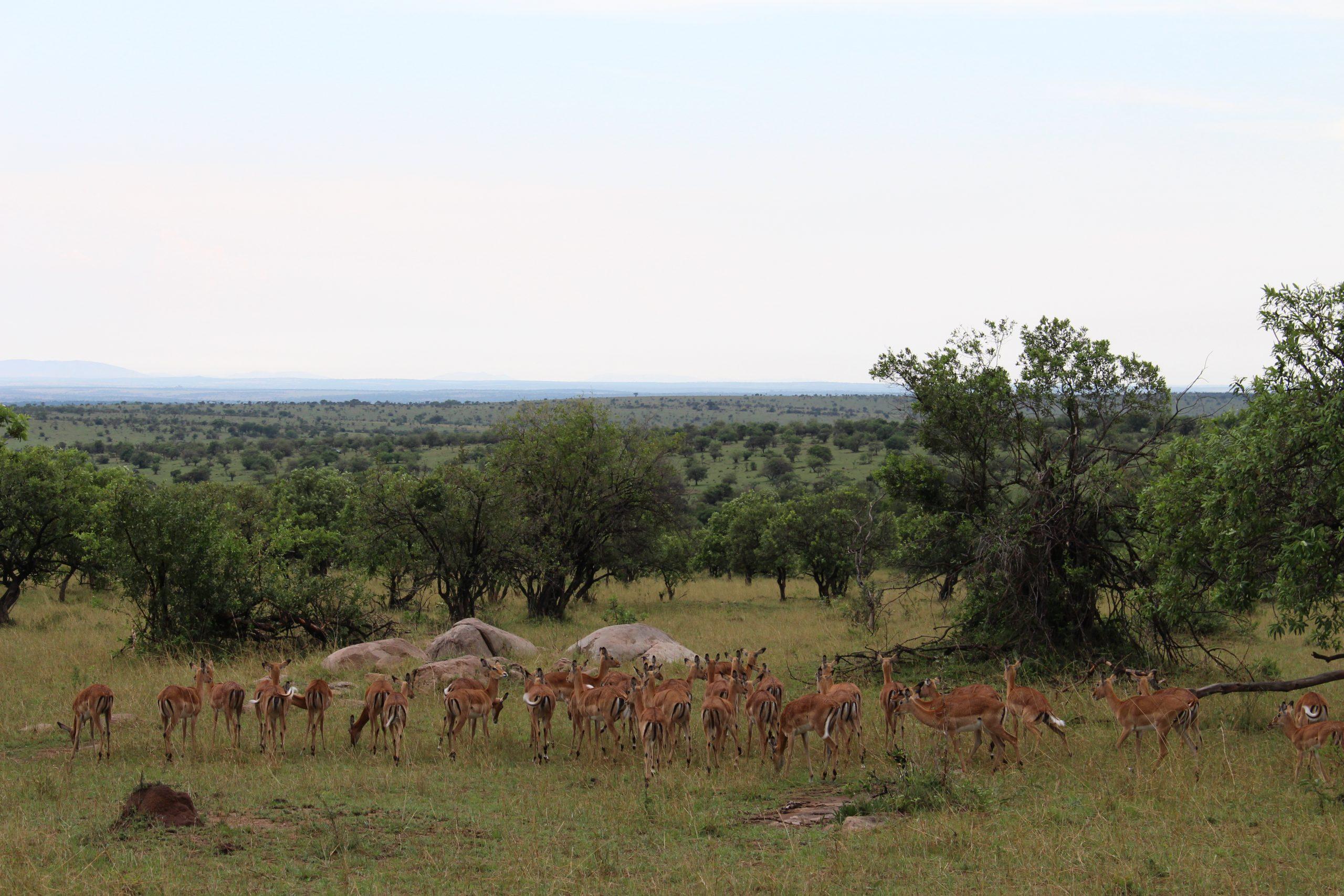 grande_migracao_alces_serengeti_2