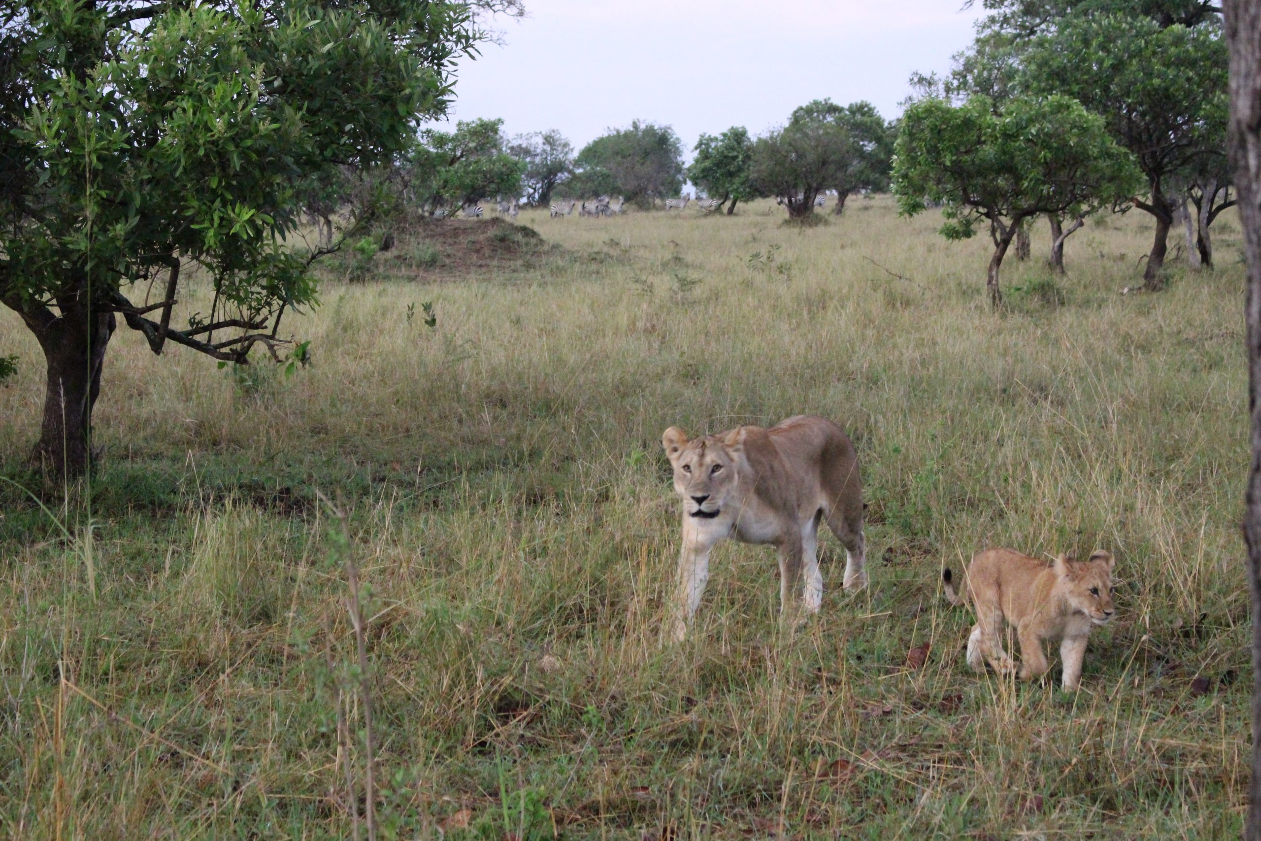 leoa_e_filhote_serengeti