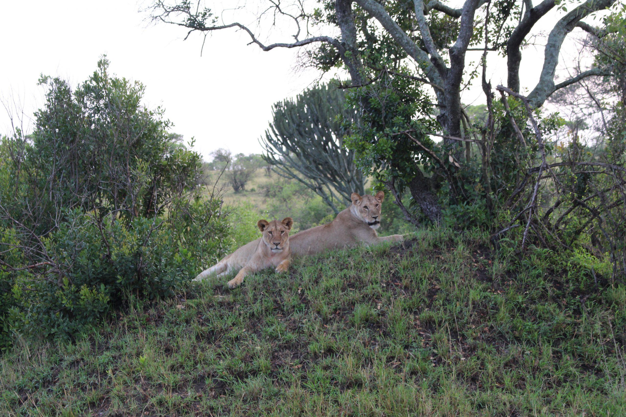 leoes_serengeti