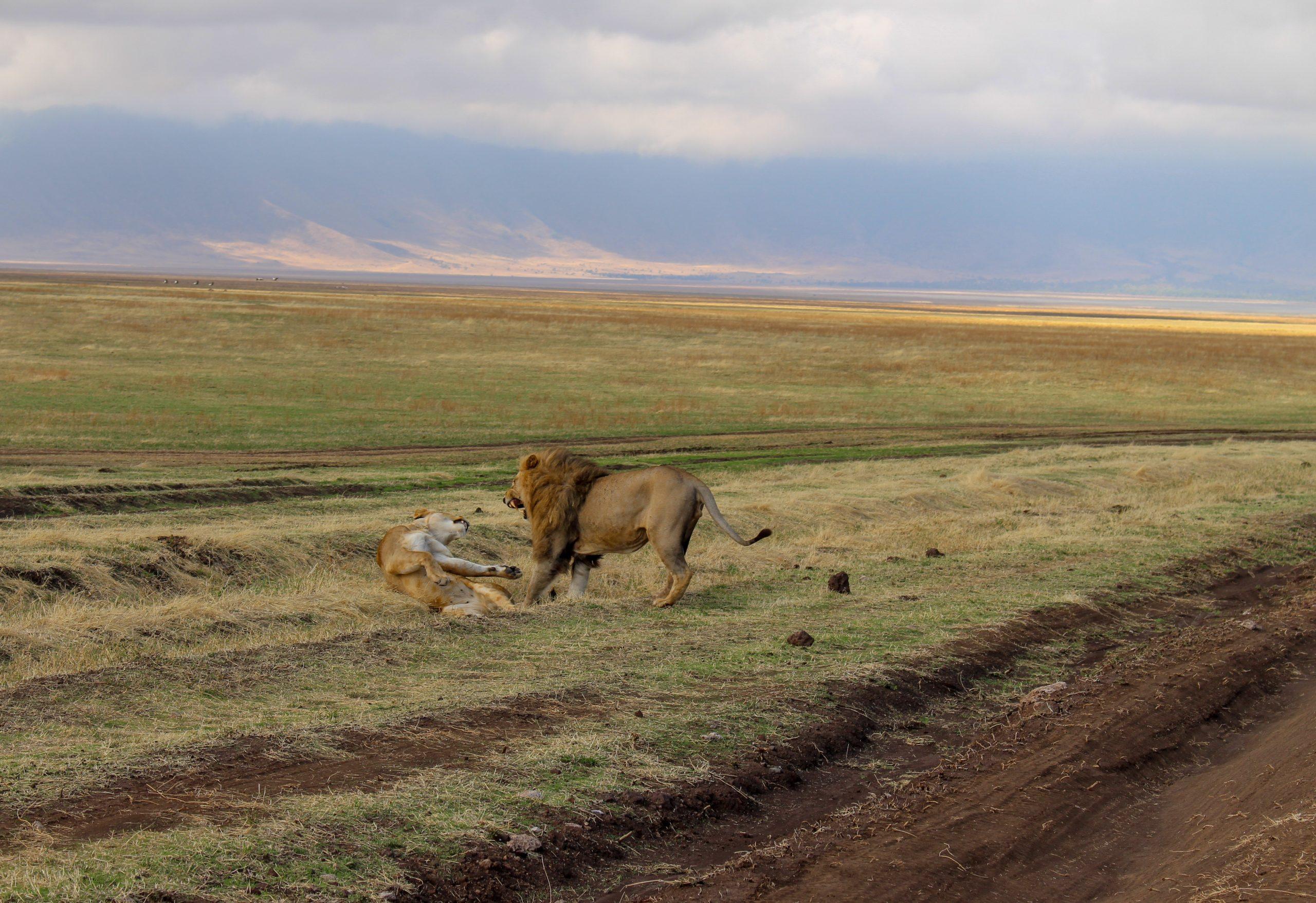 cratera_ngorongoro_leoes